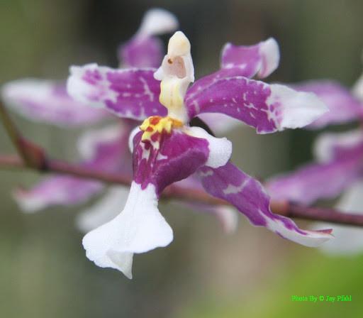 Oncidium incurvum.jpg
