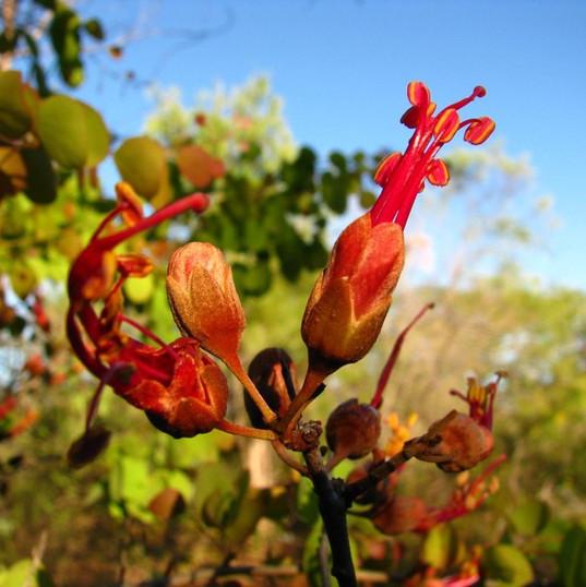 Bauhinia (Lysiphyllum Cunninghamii)