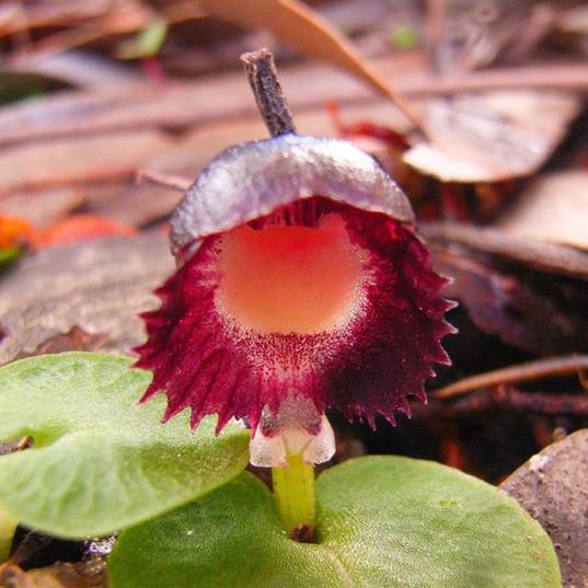 Red Helmet Orchid.jpg