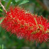 Bottlebrush (Callistemon Linearis)