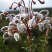 Grey Spider Flower (Grevillea Buxifolia)