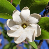 Bush Gardenia (Gardiana Megasperma)