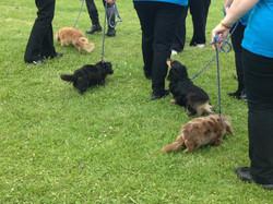 team miniature dachshund