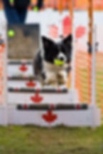 flyball dogs at companion dog show