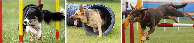 companion dog show, dog training