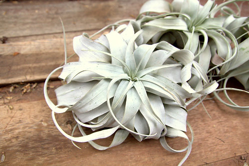 Extra Large Air Plants Xenographica