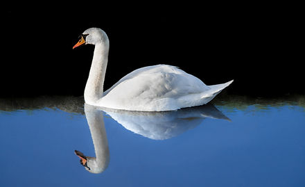 A white swan in a lake