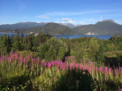 Bright purple fireweed grows in southern Alaska in the summers