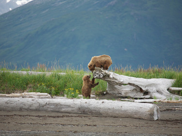 Two young bears playing in Hallo Bay in Katmai National Park and Reserve in Alaska