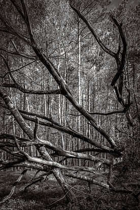 the good old days, tree,black and white