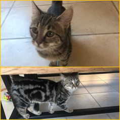 Shanelle (chaton)