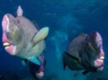 Parrotfish.png