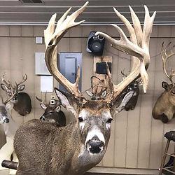 Big Buck 11.jpg