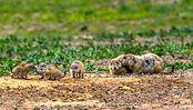 prairie-dog-hunts-in-kansas.jpg