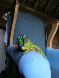 Feargal the Chameleon