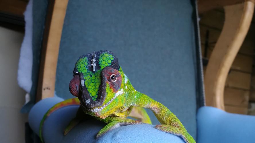 Chameleon Upholstery
