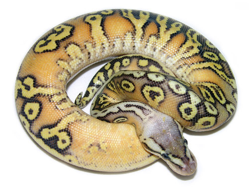 Super pastel hidden gene woma granite yellow belly