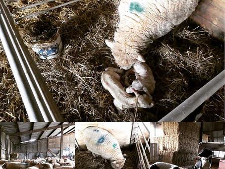 Lambing- March 2020