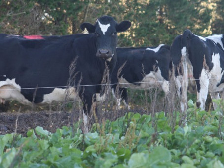 How to Reduce Dietary Risk When Feeding Brassicas