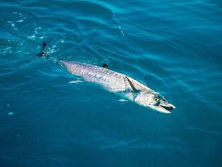 King Mackerel Fishing Tips