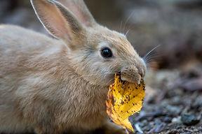 ウサギ落葉を食べる.jpeg