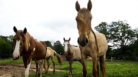 Choctaw horses at Sacred Way Sanctuary in Florence Alabama