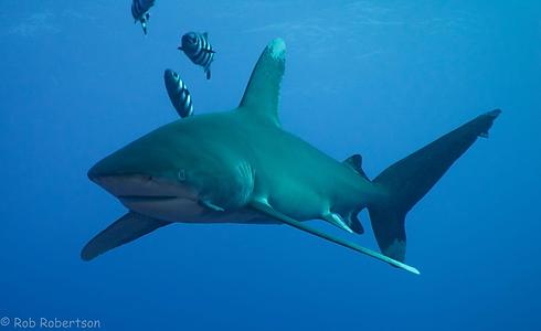 Shark - RobRobertson.png
