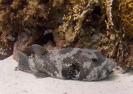 Puffer Fish 2015.jpg