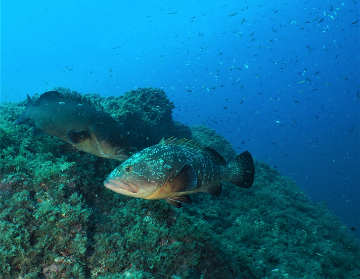 Grouper.png