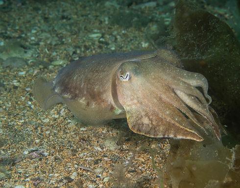 RobRobertson-P7160049-Cuttlefish.jpg