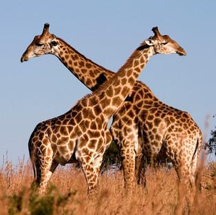 east africa - jirafas.JPG