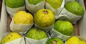 Guavas, Leaf Lemons, Sanguina Oranges & Fennel