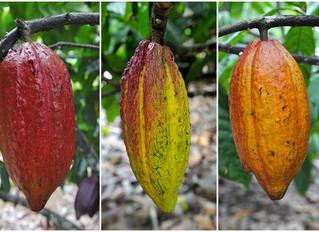 Sementes históricas do chocolate (III)