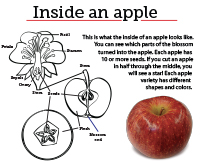 10 Inside an apple