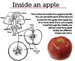 10 Inside an apple