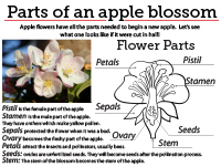 6 Apple Blossom