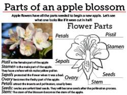 6 Apple Blossom