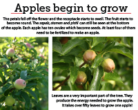9 apples begin to grow