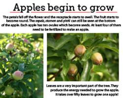 9 apples begin to grow