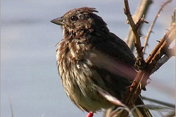 Male song sparrow, perched
