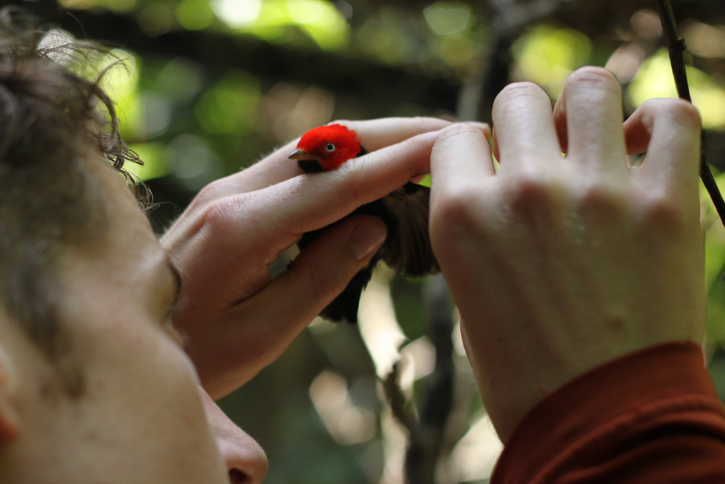 Dan examing a red-capped manakin