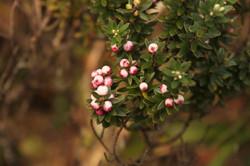 Leptecophylla tameiameiae
