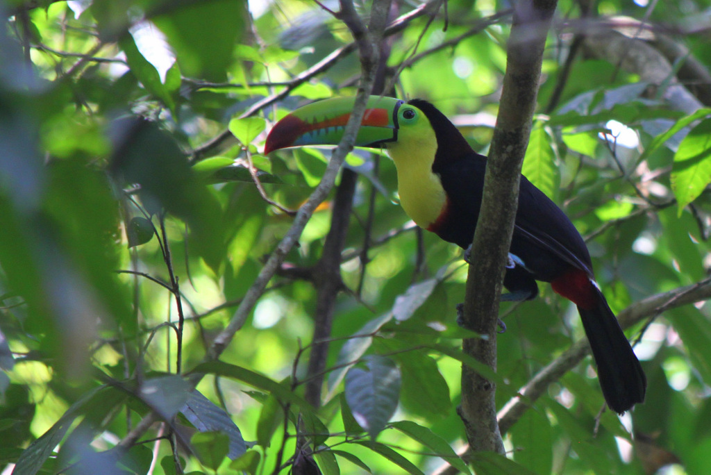 Keel-billed toucan, perched.