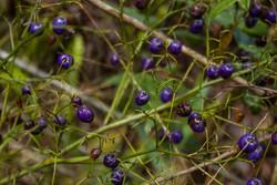 Fruit of Dianella sandwicensis