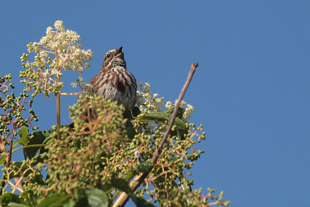 Male song sparrow, singing