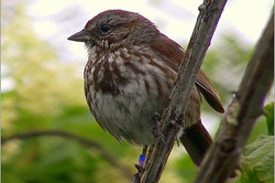 Male song sparrow, perchedsosp6