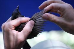 Inspecting a bird wing