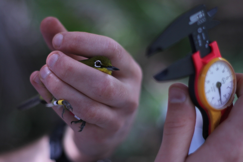 Measuring a Japanese white-eye