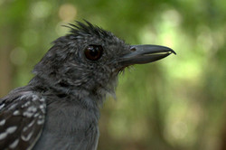 Profile image of male antshrike