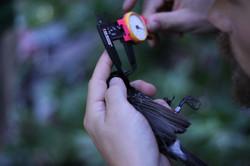 Measuring a bird using calipers